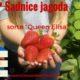 """Prodajem sadnice jagoda sorte """"Queen Elisa"""""""